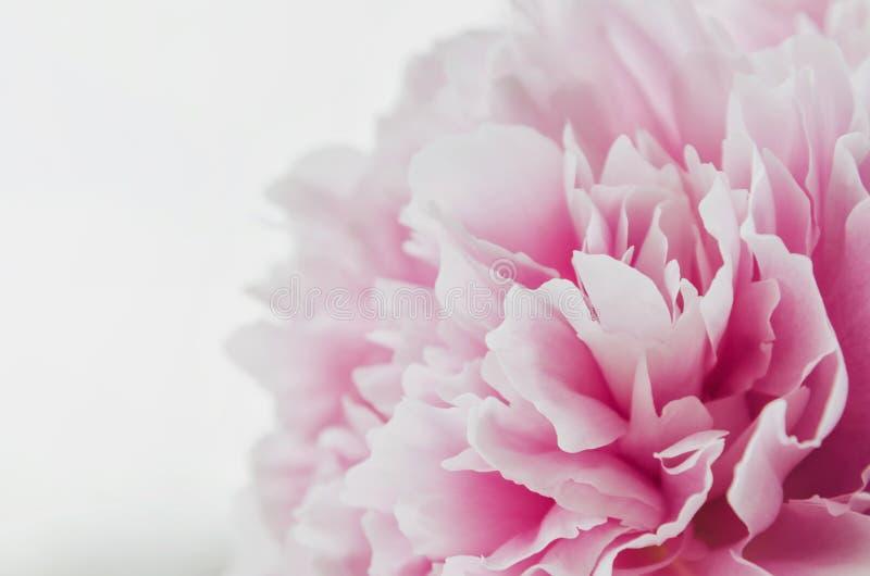 Красивый свежий розовый цветок пиона изолированный на белой предпосылке Лето пионов флористическая влюбленность Новым переконстру стоковое фото rf