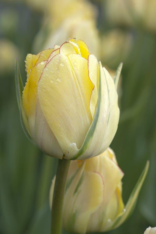 Красивый свет - желтый бутон тюльпана стоковое фото