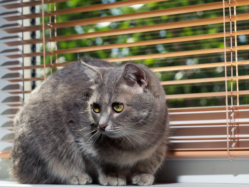 Красивый серый зелен-наблюданный кот с черно-белыми нашивками лежит на windowsill и смотрит немногого далеко от камеры стоковые фотографии rf