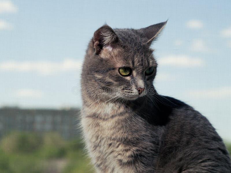 Красивый серый зелен-наблюданный кот с черно-белыми нашивками сидит на windowsill и смотрит немногого далеко от стоковое изображение