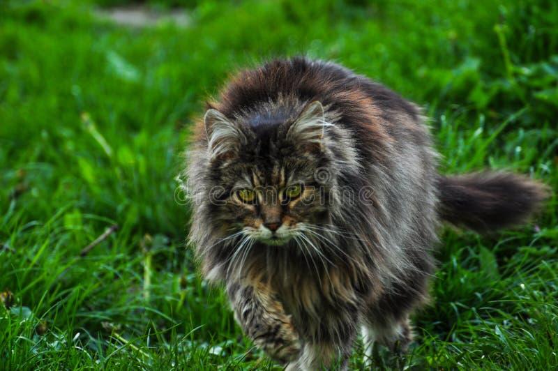 Красивый серый кот идя на зеленую траву Серый кот r r стоковое фото