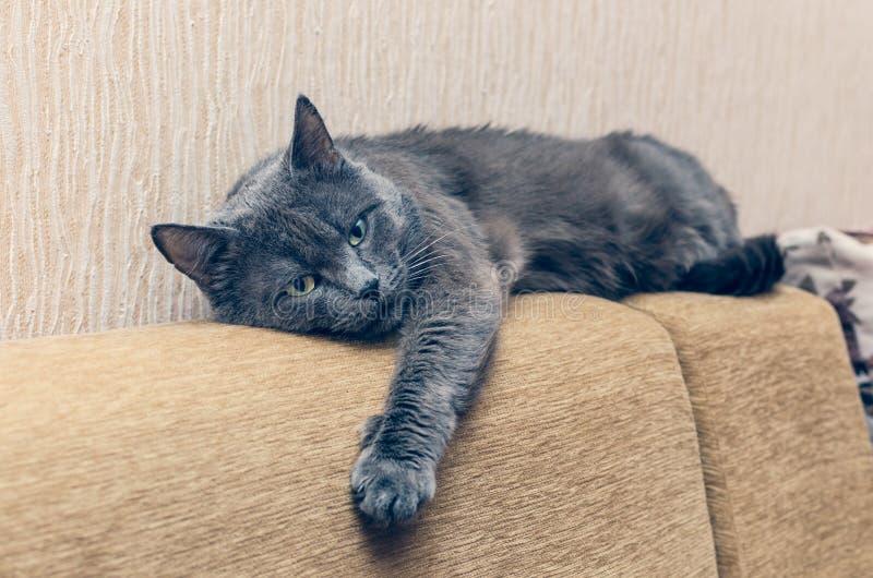 Красивый серый кот отдыхая на задней части софы стоковые изображения rf