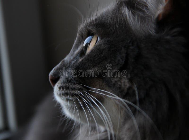 Красивый серый кот смотря вне окно стоковая фотография rf