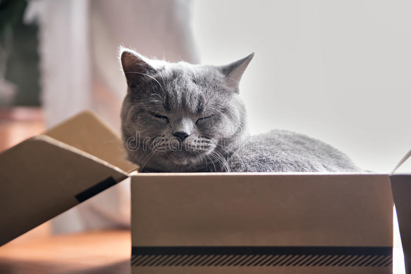 Красивый серый кот спать в коробке великобританское shorthair котенка стоковые фото