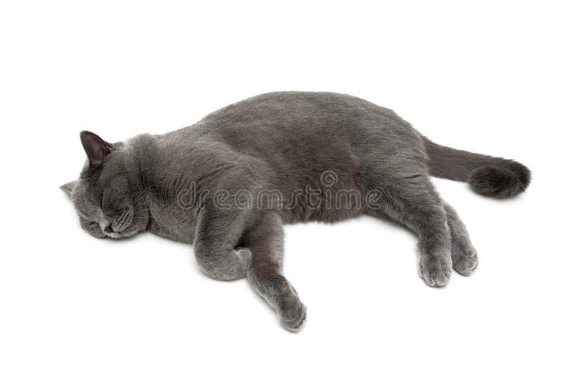 Красивый серый кот спит на белой предпосылке стоковая фотография