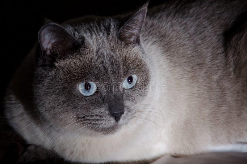 Красивый серый кот с стоковые изображения rf