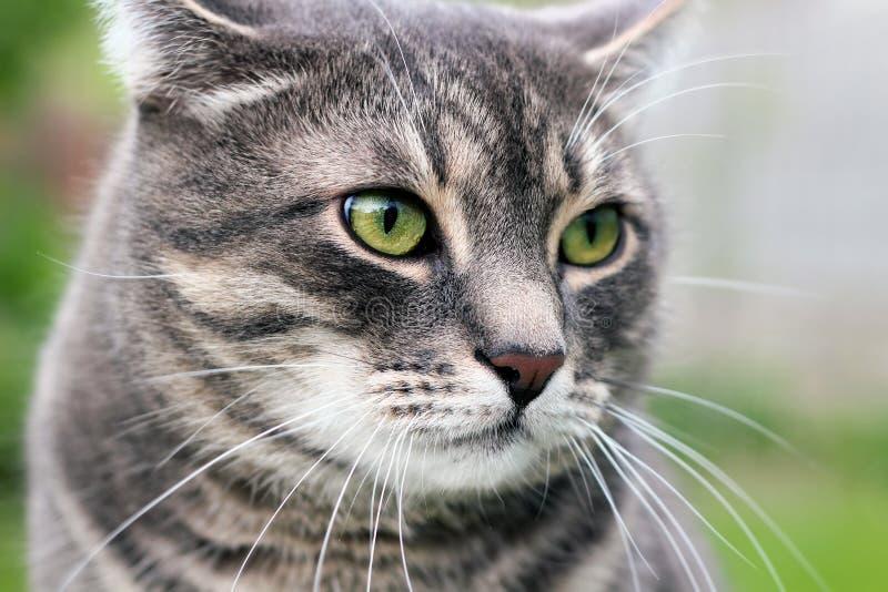 Красивый серый расслабляющий элегантный кот стоковые изображения rf