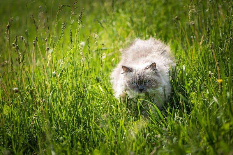 Красивый сибирский кот идя в траву стоковые изображения rf