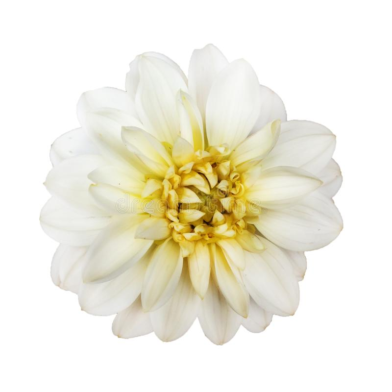 Красивый сметанообразный ый-бел цветок георгина в цветени изолированном на белой предпосылке стоковое изображение rf