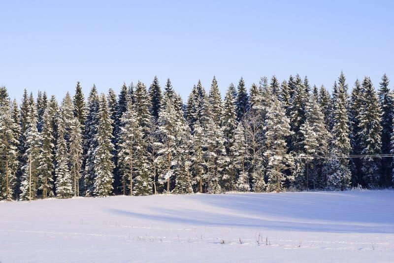 Красивый снег предусматривал елевые деревья в финском лесе с солнечным светом стоковые фотографии rf
