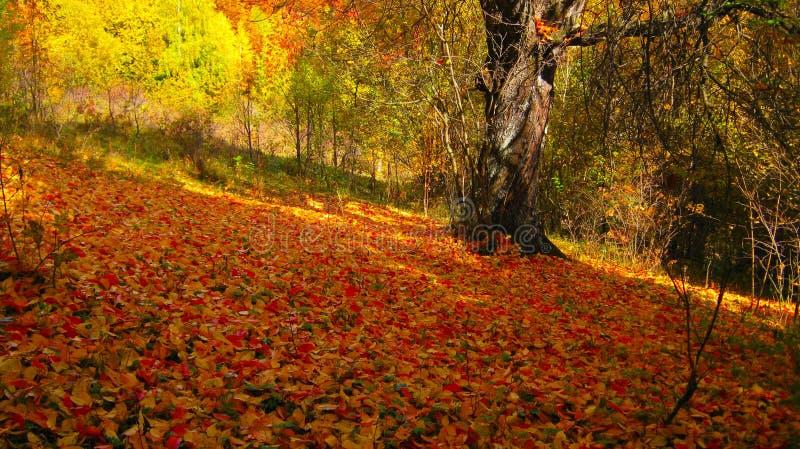 Красивый солнечный день в лесе осени золотом стоковая фотография rf