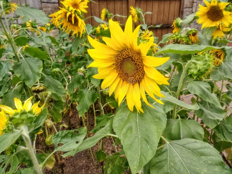 Красивый солнцецвет окруженный больше солнцецветов стоковое фото rf