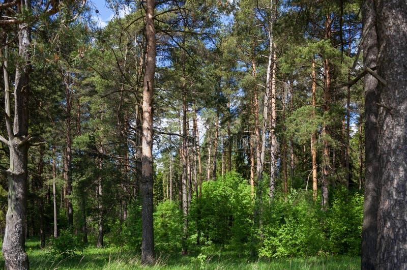 Красивый сосновый лес стоковые изображения