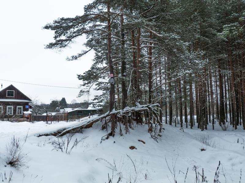 Красивый сосновый лес зимы стоковое изображение