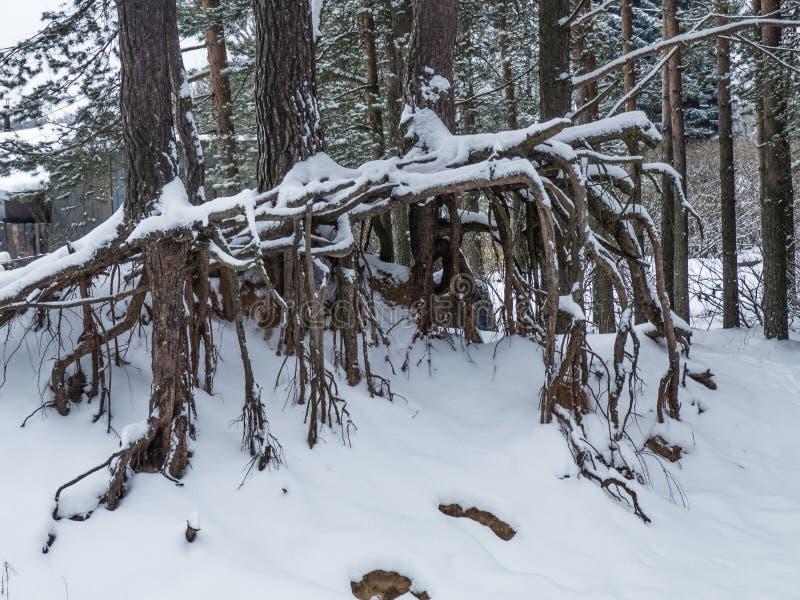 Красивый сосновый лес зимы стоковое изображение rf