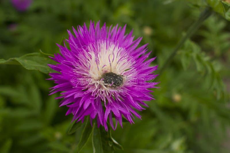 Красивый сочный цветок с концом-вверх жука Насекомое на цветке стоковое фото rf