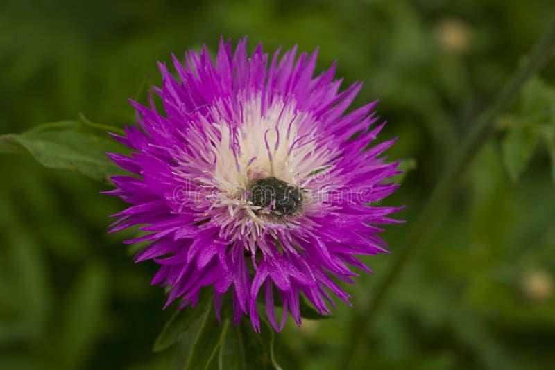 Красивый сочный цветок с концом-вверх жука Насекомое на цветке стоковые изображения rf