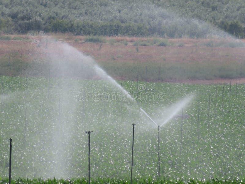 Красивый спринклер лужайки моча поле для того чтобы вырасти плод стоковые фотографии rf