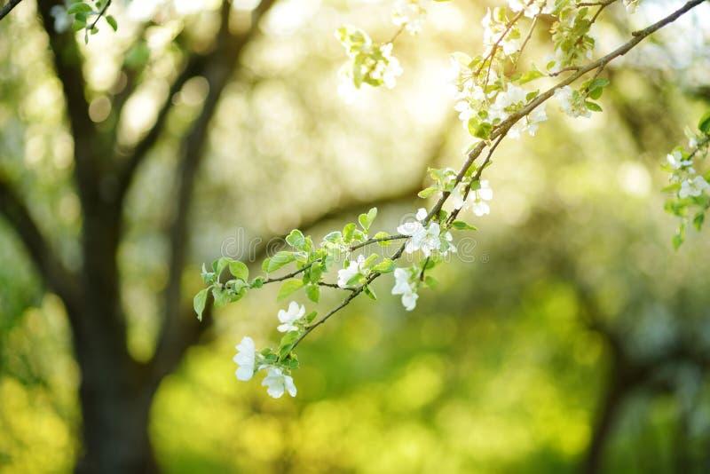 Красивый старый сад яблони цвести на солнечный весенний день стоковая фотография