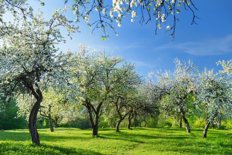 Красивый старый сад яблони цвести на солнечный весенний день стоковое фото