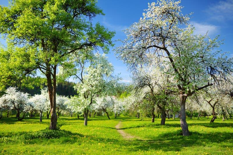 Красивый старый сад яблони цвести на солнечный весенний день стоковые фотографии rf