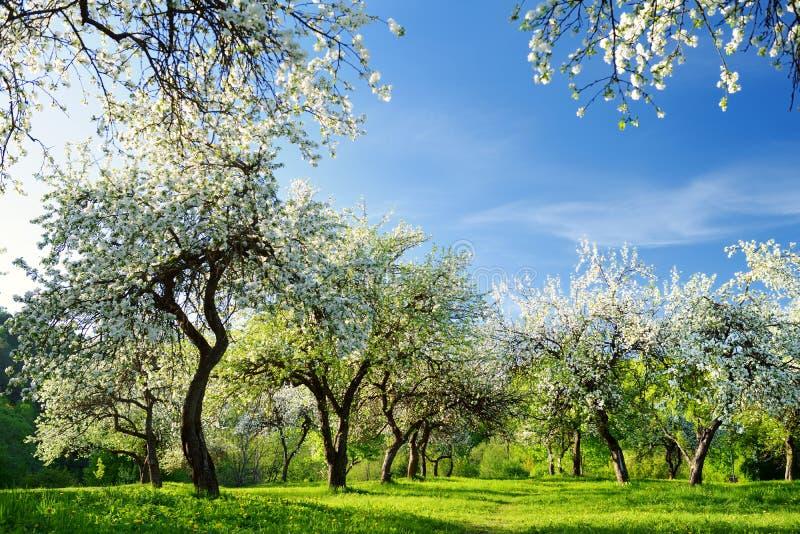 Красивый старый сад яблони цвести на солнечный весенний день стоковое изображение rf
