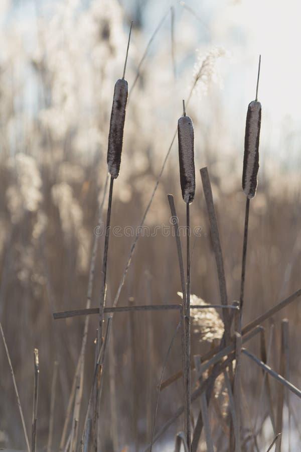 Красивый сухой тростник на зимний день в backlight стоковое изображение