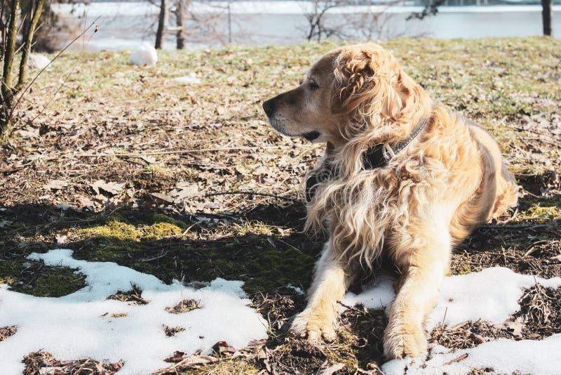 Красивый счастливый щенок золотого retriever в парке в наблюдать снега стоковые фотографии rf