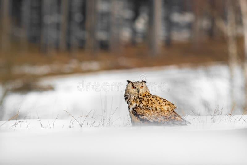 Красивый сыч от России, восточный сибирский сыч орла, bubo Bubo, сидя в снеге Сцена зимы с величественным редким сычом с лесом стоковая фотография rf