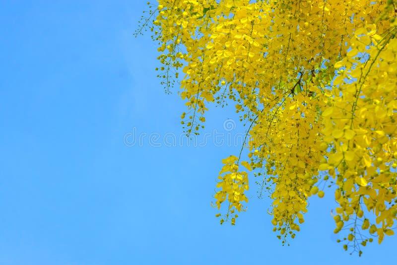 Красивый тайский желтый цветок, дерево золотого ливня цветка фистулы кассии стоковое фото rf