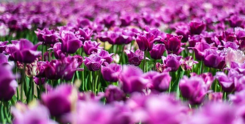 Красивый темный пурпурный Tulipa Negrita в поле цветков весны на расплывчатой предпосылке стоковые изображения rf