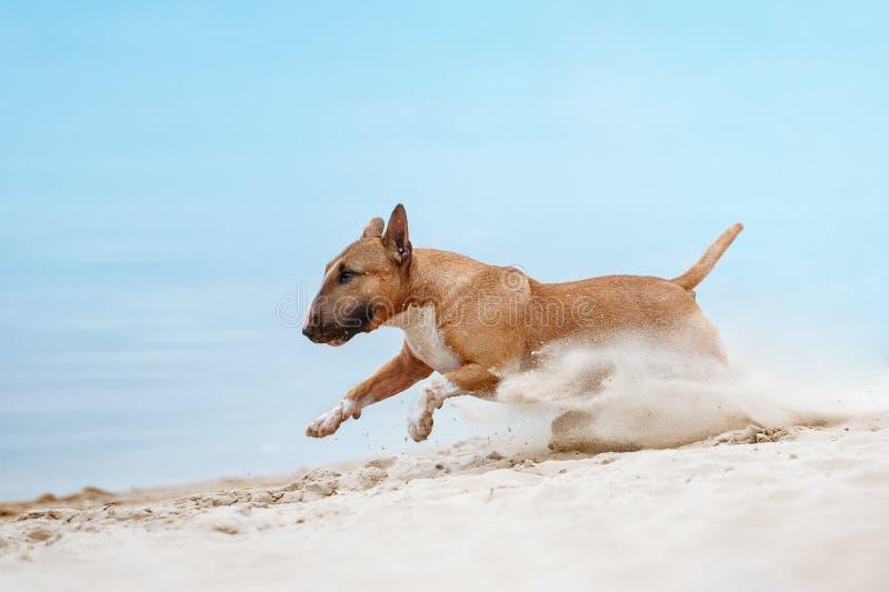 Красивый терьер быка красной и белой породы собаки мини бежать вдоль пляжа стоковые изображения rf