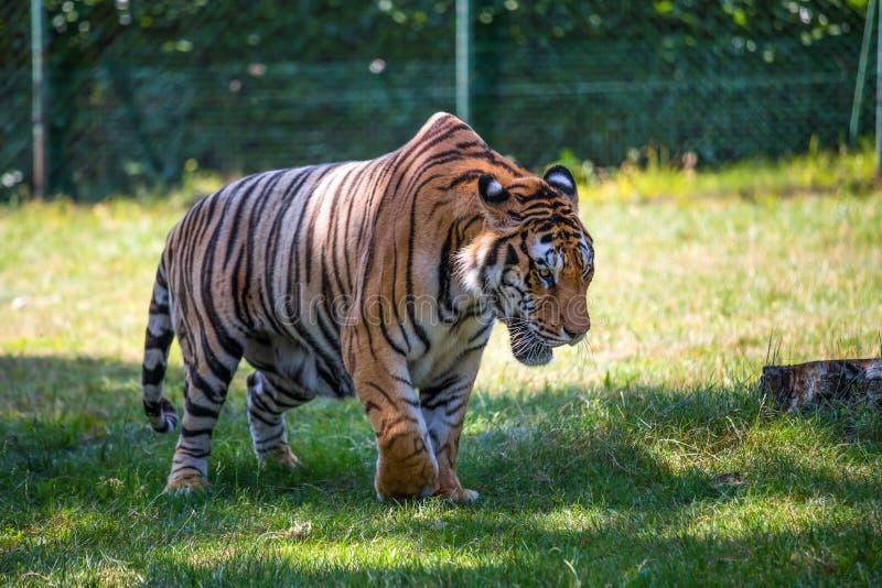 Красивый тигр идя в открытое пространство стоковые изображения