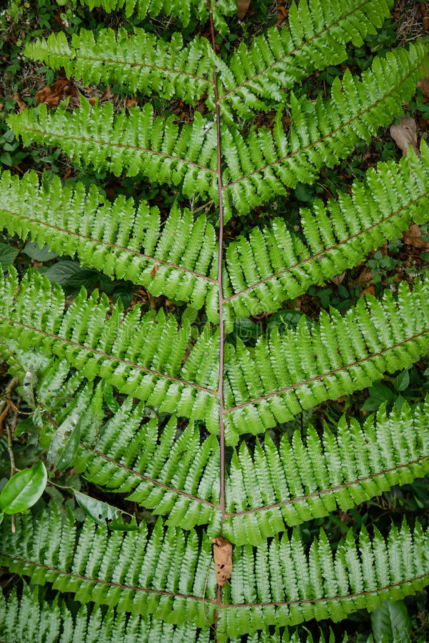 Красивый тропический зеленый папоротник с совершенной симметрией стоковая фотография rf