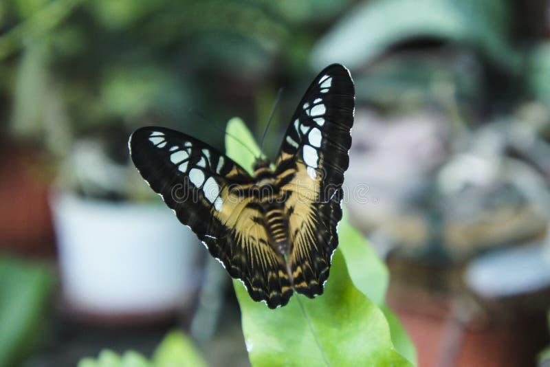 Красивый тропический коричневый цвет с белизной пятнает бабочку стоковые фотографии rf