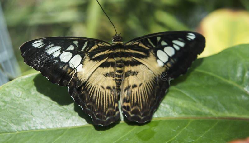 Красивый тропический коричневый цвет с белизной пятнает бабочку стоковое фото rf