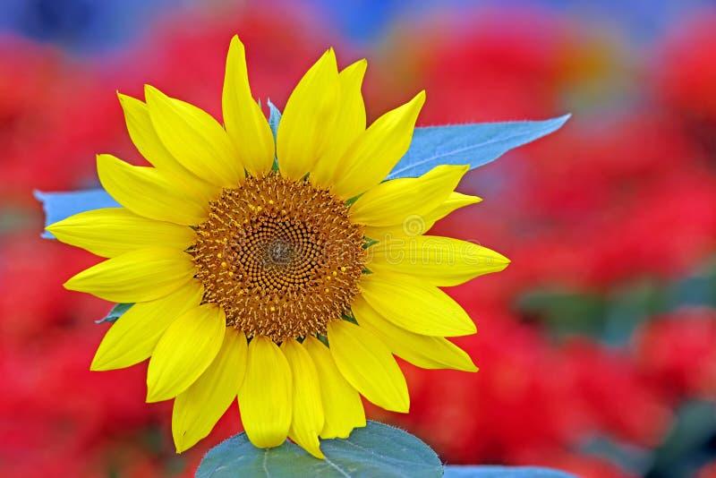 Красивый тропический солнцецвет стоковые изображения