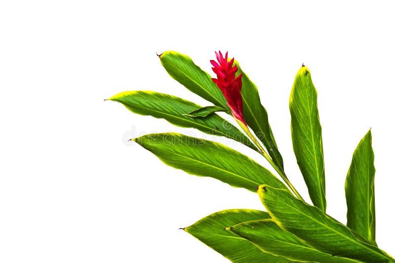 Красивый тропический цветок красного имбиря (Alpinia Purpurata). стоковое изображение rf