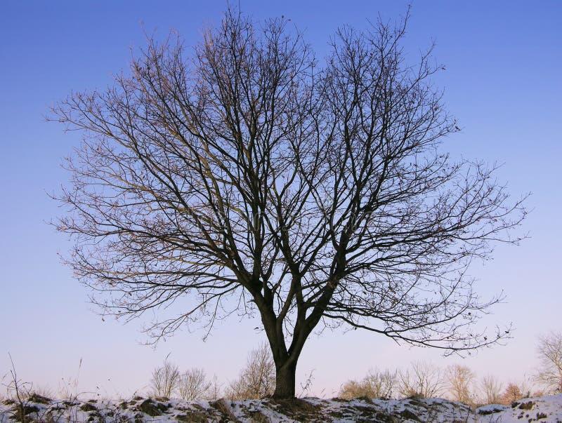 Красивый дуб в зиме стоковые изображения rf