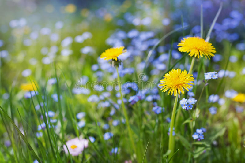 Красивый луг лета с одуванчиками цветков и незабудками, симпатичным ландшафтом природы стоковое фото