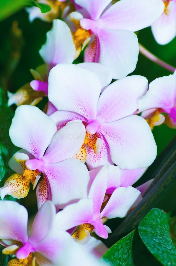 Красивый фаленопсис орхидеи стоковое фото rf