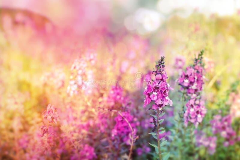 Красивый фиолетовый луг цветка весны на красочной предпосылке мягкого света стоковые изображения rf