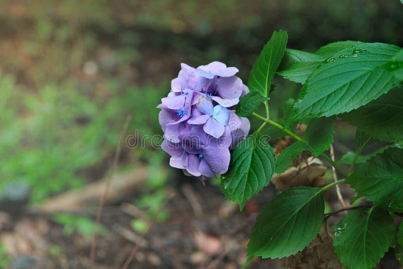 Красивый фиолетовый цветок гортензии гортензии Celebrationwith стоковое фото