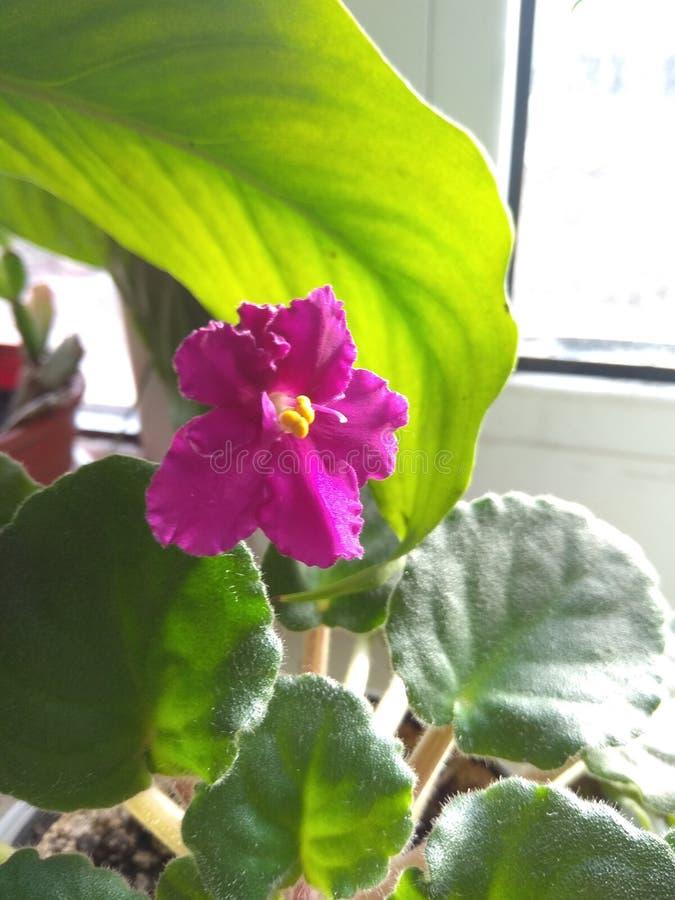 Красивый фиолетовый цветок цветёт на подоконнике в доме возле света стоковые изображения
