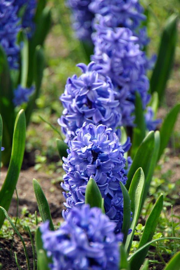 Красивый фиолетов-голубой цветок гиацинта засаженный в ряд стоковое фото