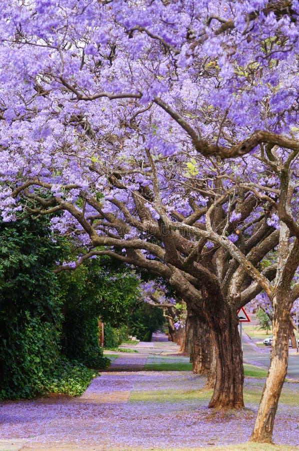 Красивый фиолетовый живой jacaranda в цветени стоковое фото rf