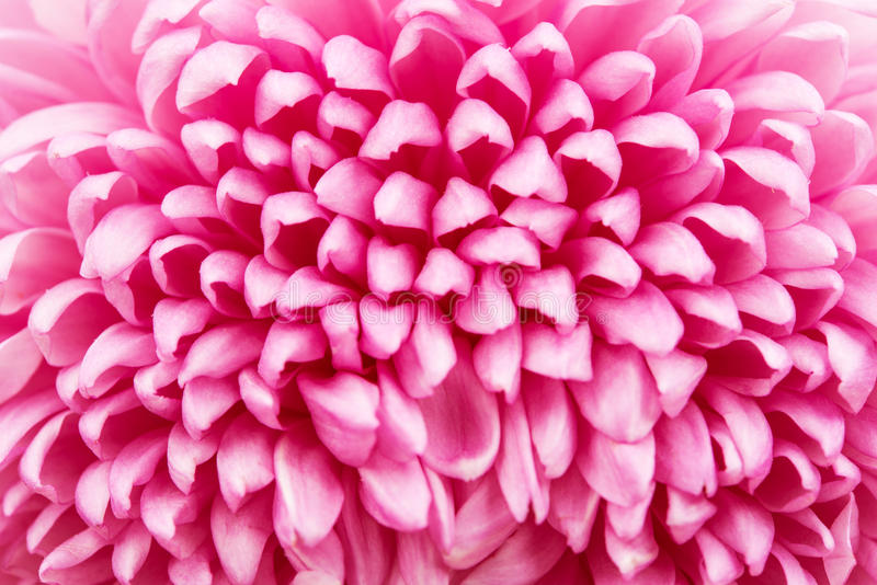 Красивый фиолетовый крупный план хризантемы стоковая фотография