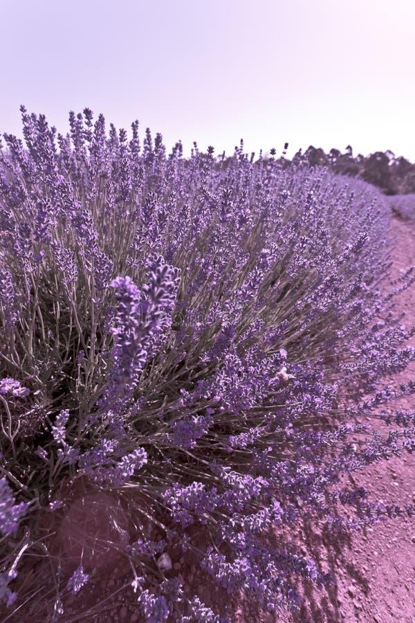 Красивый фиолетовый куст лаванды стоковое фото