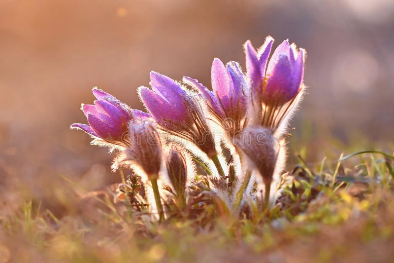 Красивый фиолетовый маленький меховой цветок pasque Patens Pulsatilla grandis Pulsatilla Pasqueflowers Зацветать на луге весны стоковые изображения rf