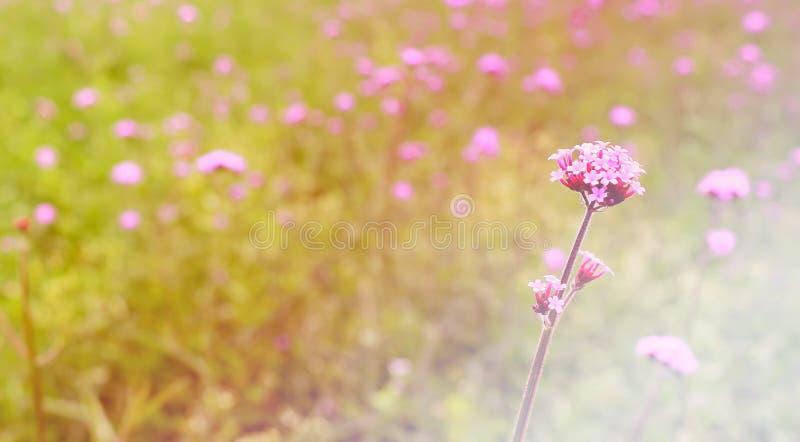 Красивый фиолетовый полевой цветок в заходе солнца стоковое изображение rf